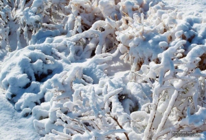 Bushes and Snow in South Jordan, Utah. - Photographer: Rafael Escalios.