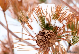 Pine Cone in Oquirrh Mountain, Utah. - Photographer: Rafael Escalios.