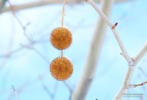 Fruits of the Sycamore tree in Oquirrh Mountain, Utah. - Photographer: Rafael Escalios.