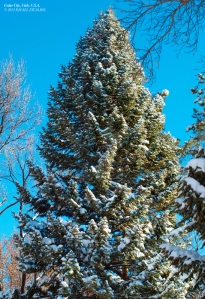 Pine Tree in Cedar City, Utah. - Photographer: Rafael Escalios.