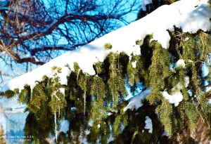 Pine Tree Braches covered with snow. - Photographer: Rafael Escalios.